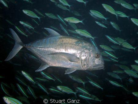 Ulua on the hunt by Stuart Ganz