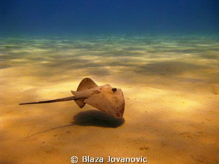 Mediterranean stingray hovers over the sandy bottom of La... by Blaza Jovanovic