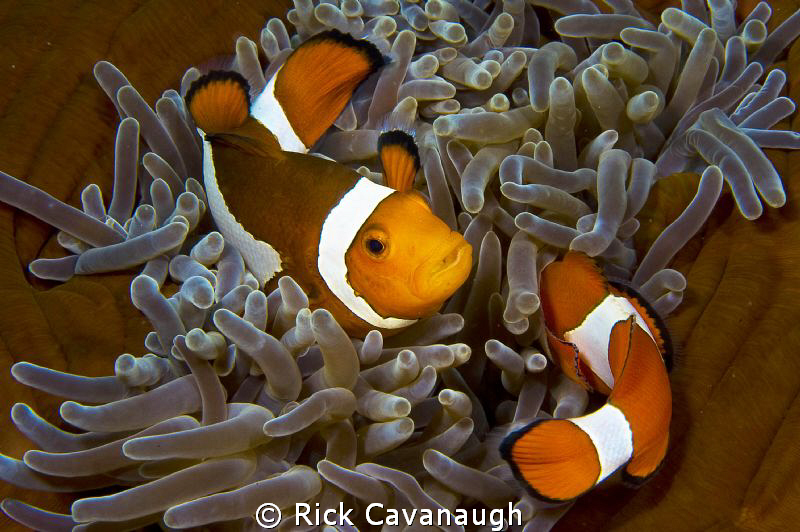 Pair of clownfish symmetrically swimming in Lembeh. by Rick Cavanaugh
