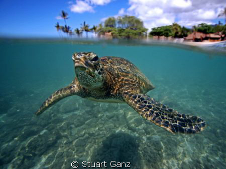 Another beautiful day to be a turtle in Hawaii. by Stuart Ganz