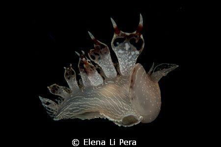 tethys fimbria by Elena Li Pera