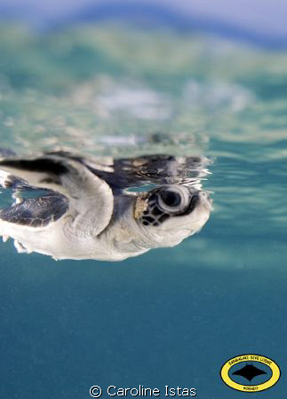 Baby Turtle on her way to the wide ocean... by Caroline Istas