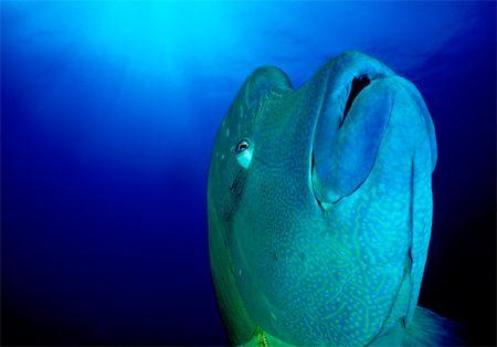 Palauan Epiphany - Napoleon Wrasse at Blue Corner, Palau.... by Erin Quigley