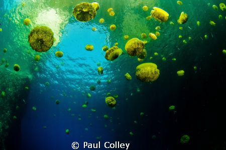 Fried Egg Jellyfish framed against the Azure Window off t... by Paul Colley