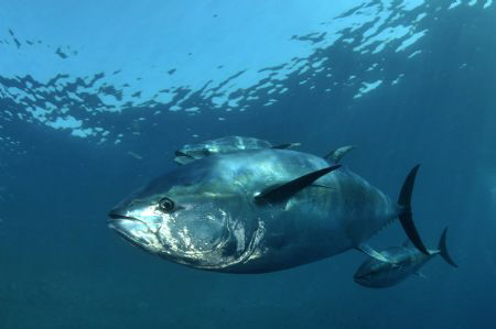 A captured 450kg Bluefin. Although very saddened by the p... by Paul Colley