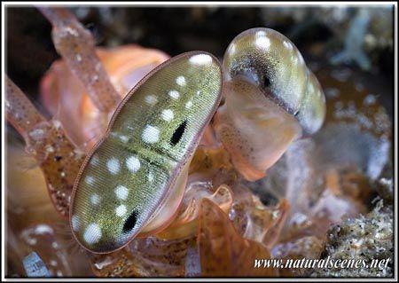 Giant mantis shrimp eyes shot during night dive in Lembeh... by Yves Antoniazzo