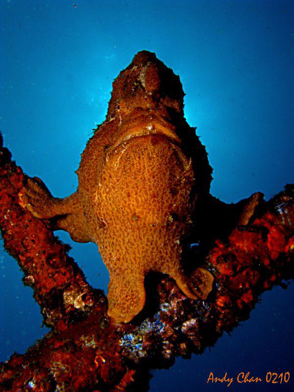 Froggy - Padang Bai, Bali by Andy Chan