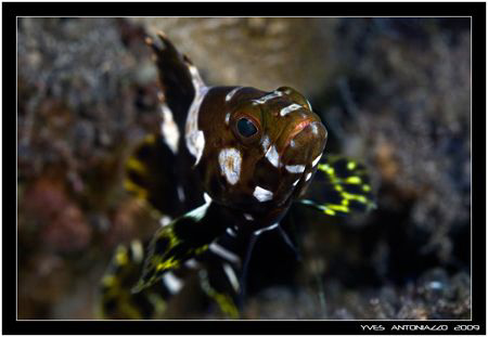 Juvenile tallfin grouper  Fuji S5 pro/105 VR by Yves Antoniazzo