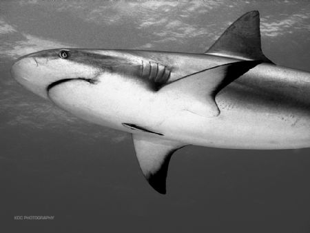Reef Shark during a feed. Bahamas. Nikon CP5000, Aquatica... by Ken Dean