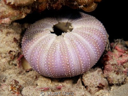 Urchin shell by Stuart Ganz
