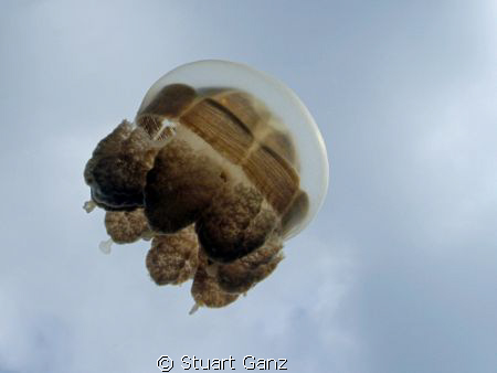 Jelly from jelly fish lake - Palau by Stuart Ganz