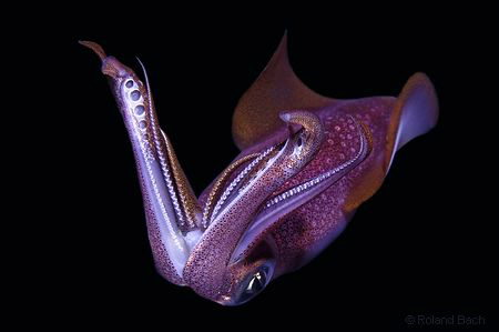 I have seen this squid at a night dive. Looks like I told... by Roland Bach