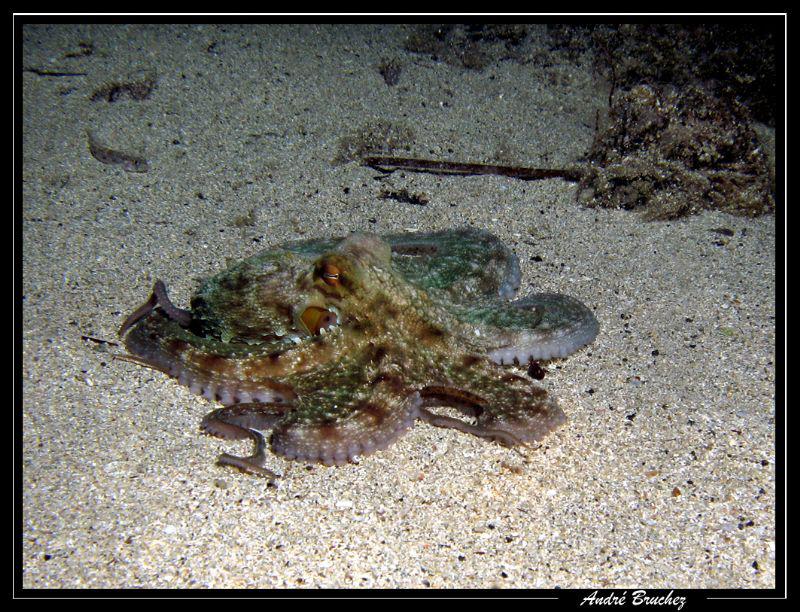 Octopus shooté à Gozo by André Bruchez