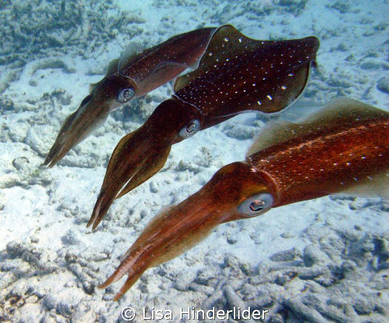 3 Amigos!  These squid were very curious and really check... by Lisa Hinderlider 