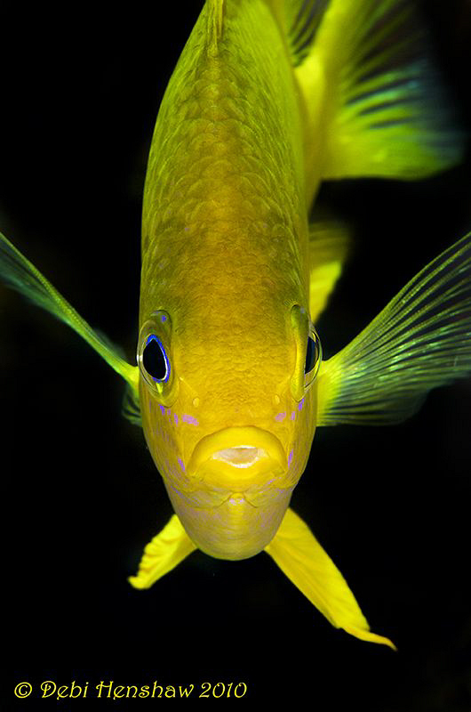 Yellow Damsel by Debi Henshaw