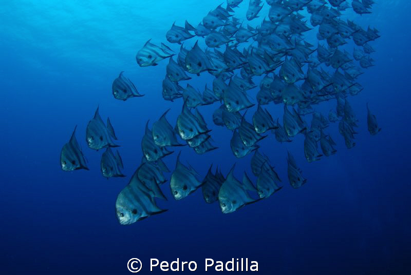 Spadefish Family