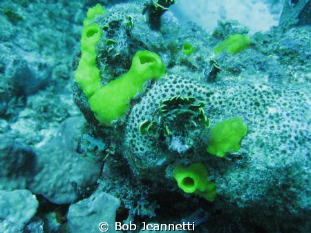 Tiny fire coral and tiny sponges by Bob Jeannetti