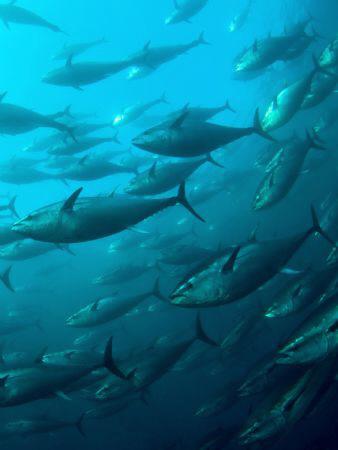 Schooling Bluefin Tuna at a Tuna farm near St Paul's Bay ... by Paul Colley