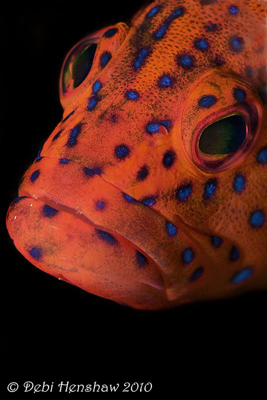 Coral Grouper head on! by Debi Henshaw