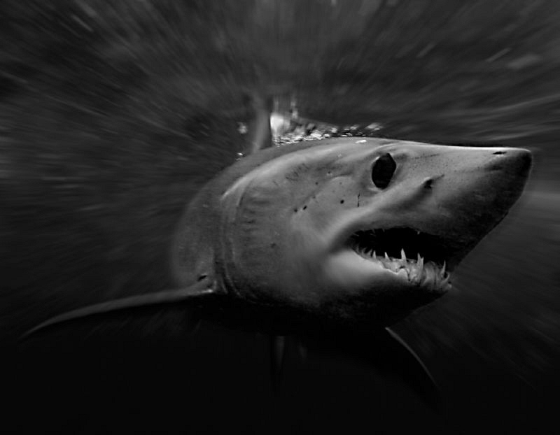 Mako shark by Charles Wright 