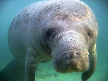 Manatee saying hi at Crystal River, Florida. Picture take... by Marko Wramén
