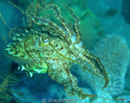 Cuttle fish. This image was taken at Sarangani Bay , D70S... by Shauming Lo