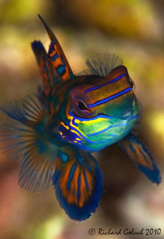 Mandarin Fish by Richard Goluch