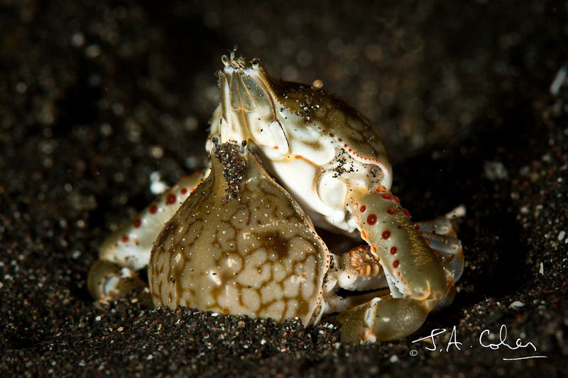 Mating Crabs by Julian Cohen