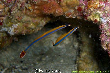 Doryrhamphus excisus 2010/ 4/17 Kenting,TAIWEN Casio EX... by Harry Yang