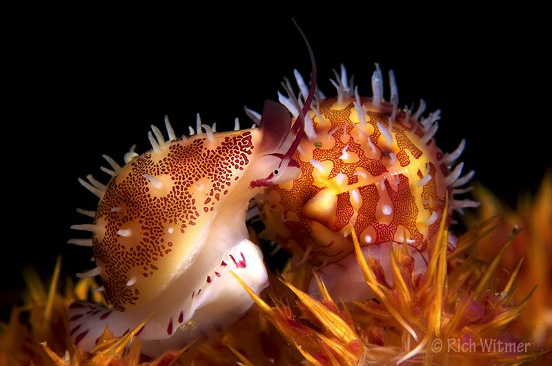 Mimic Cowries on soft coral.  These guys are TINY.  D300,... by Richard Witmer