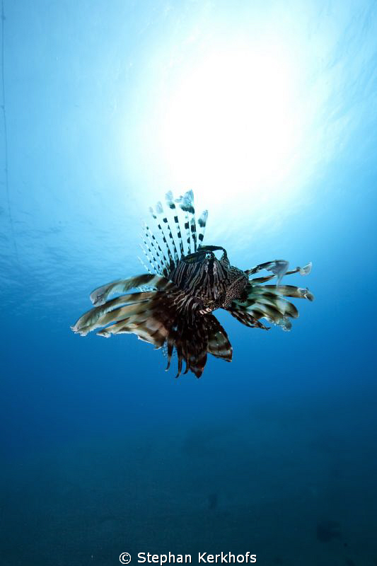 Lionfish free out in the blue. by Stephan Kerkhofs