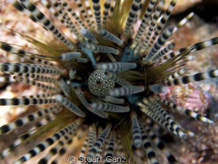 Urchin by Stuart Ganz
