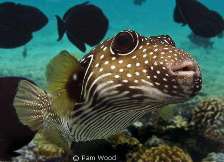 Zippy the Pufferfish.  Taken in Kona, Hawaii by Pam Wood
