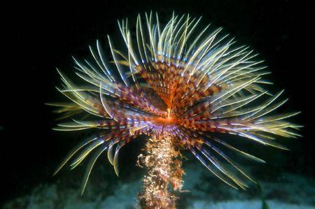 """The Sea Worm """"Spirographis spallanzani"""". Mediterranean Se... by Lyubomir Klissurov"""