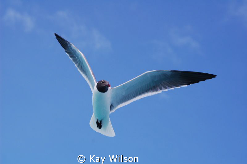 Seagull in the Tobago Cays. by Kay Wilson