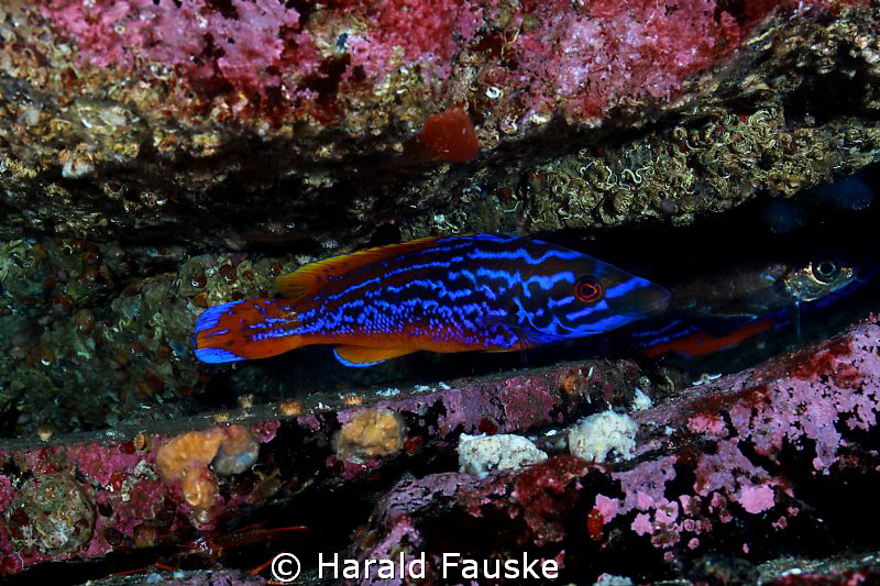 picture of a male blåstål (labrus mixtus) that left his s... by Harald Fauske