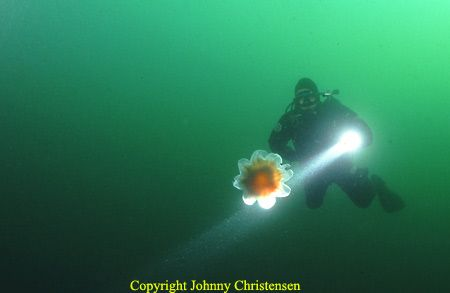 Diver keeping his distance to a stinging jellyfish. 