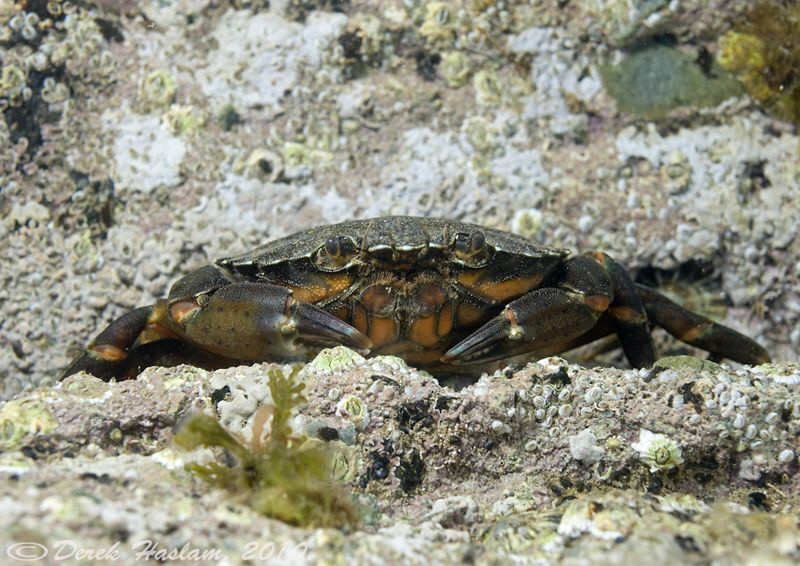 Shore crab. Trefor pier. D3,60mm. by Derek Haslam 