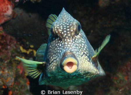 Smooth trunkfish shot with Canon 30D, Ikelite housing and... by Brian Lasenby