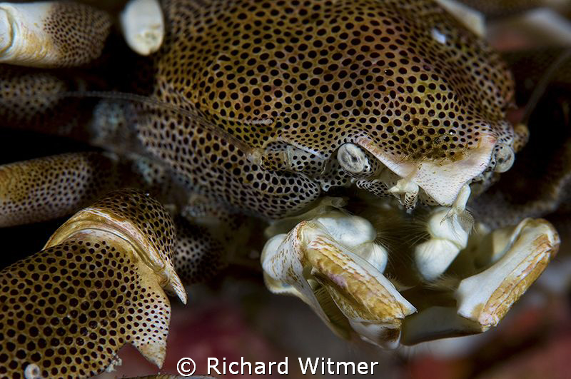 Profile of a Porcelain Crab.  In the high-rez you can see... by Richard Witmer