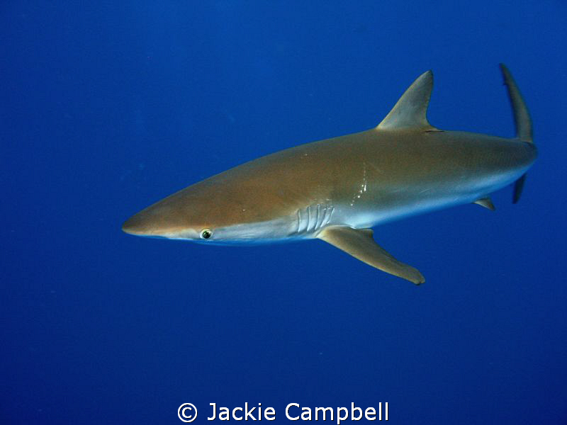 Silky shark. This guy had a scar on its back. by Jackie Campbell