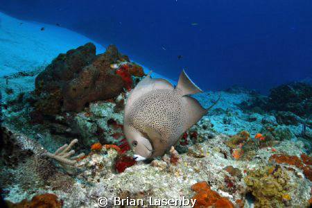 Gray angelfish in the crystal clear waters of Cozumel by Brian Lasenby