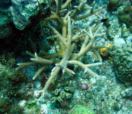 Staghorn coral as the focus by Mark Reasor