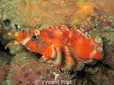 Twin spot / ocellated lionfish (Dendrochirus biocellatus)   by Vincent Pilot