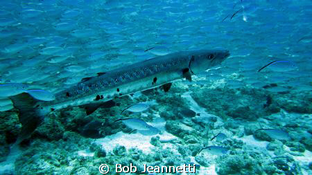 Grand Barracuda in the middle of a large school of jacks by Bob Jeannetti