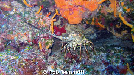 This lobster was 20+ pounds by Bob Jeannetti