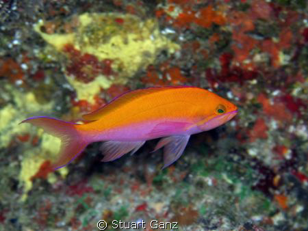 I photographed this beauty on a deep dive @ Makua drop off. by Stuart Ganz