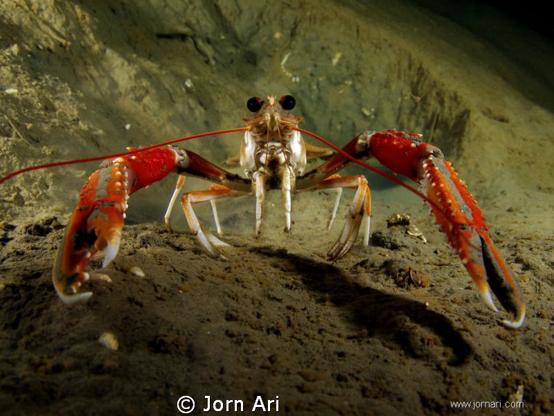 The Norway lobster, Nephrops norvegicus