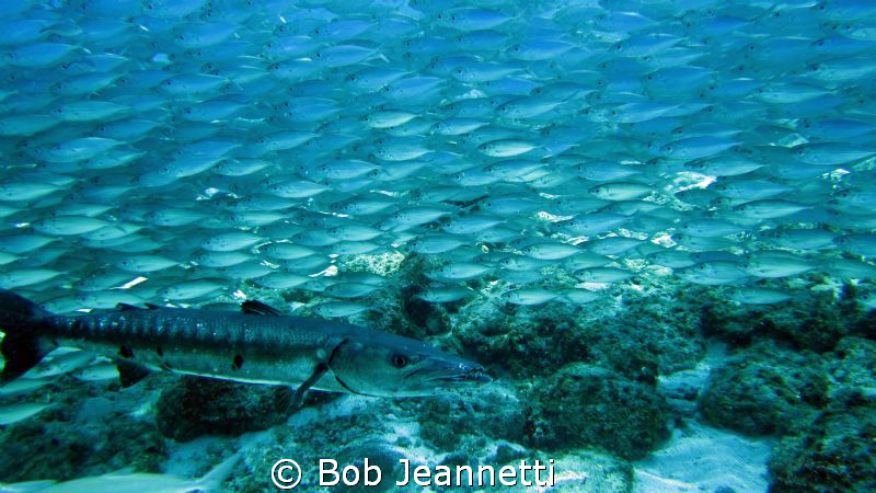 Barracuda and Jacks by Bob Jeannetti 