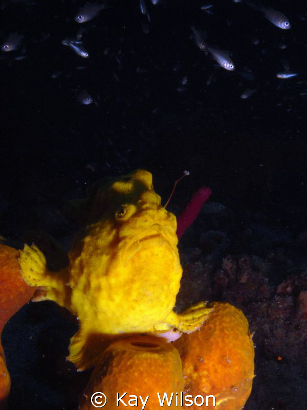 Long Lure Frogfish angling for a snack. by Kay Wilson